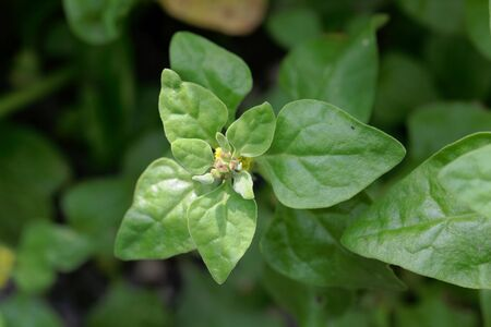 Leaves and flowers of a New Zealand spinach, Tetragonia tetragonioides. Stockfoto