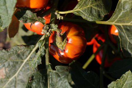 Fruits and leaves of an Ethiopian nightshade, Solanum aethiopicum.