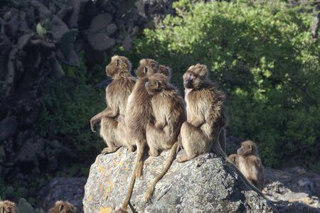 Un groupe de babouins gelada femelles, Theropithecus gelada, sur un rocher.