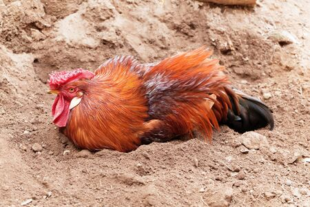 A rooster taking a sand bath in brown sand.