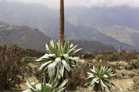 Giant lobelia plants, Lobelia rhynchopetalum, in the Simien Mountains National Park in Ethiopia.