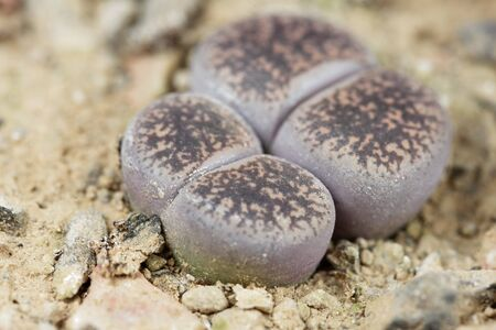 Macro photo of Living stone plants, Lithops lesliei, from the Kimberley area of South Africa, C-14 region.