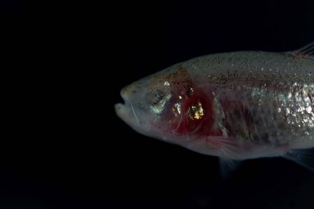Head of a blind cave fish, Astyanax mexicanus, with a black background. Stock fotó