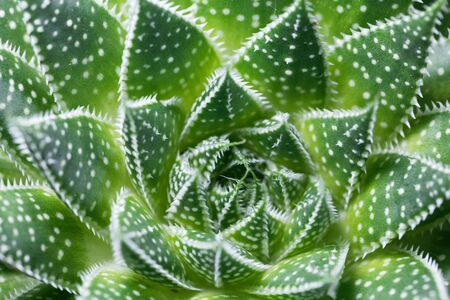Leaves of a lace aloe, Aloe aristata, from South Africa.