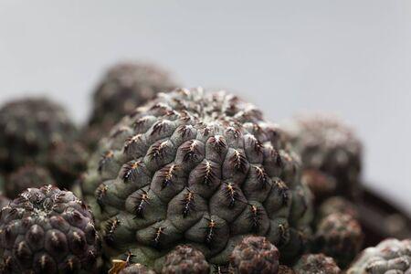 Macro photo of the cactus Rebutia canigueralli, from Bolivia. Stock fotó