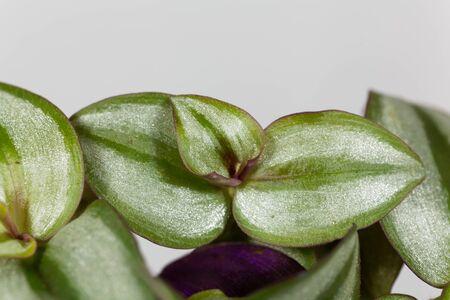 Leaves of the Inchplant Tradescantia zebrina