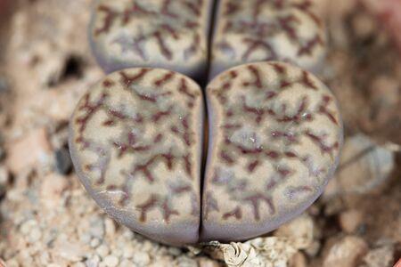 Lithops bromfieldii, from South Africas Upington area, C368 region.