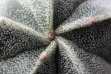 Macro photo of a bishop cap cactus, Astrophytum myriostigma Stock fotó