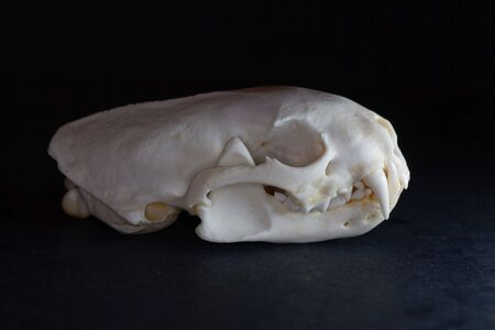 Skull of a European polecat, Mustela putorius, with a black background.