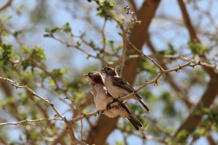 A pair of speckle fronted weaver birds, Sporopipes frontalis, in an acacia tree in East Africa. 免版税图像