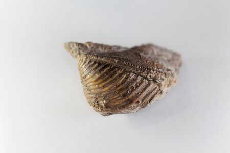 The fossil conch Trigonia costata, from the middle Jurassic of southern Germany.