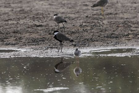 A spur-winged plover, Vanellus spinosus, and a redshank, Tringa tetanus, on a mudflat a Gambia Stock Photo