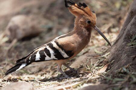 A Eurasian hoopoe, Upupa epops, searching food on brown soil. Stock Photo
