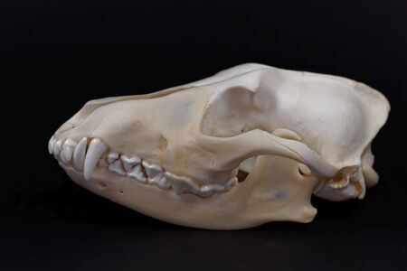 Skull of a golden jackal, Canis aureus, with a black background.