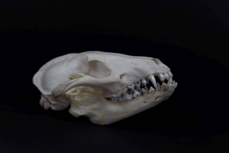 Skull of a raccoon dog, Nyctereutes procyonoides, with a black background.