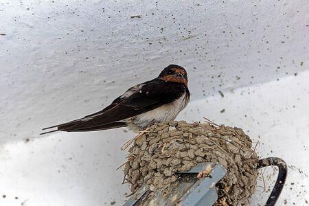 A barn swallow, Hirundo rustica, on the nest.