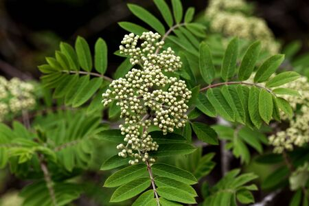 Blossoms of a rowan tree, Sorbus aucuparia, with leaves.
