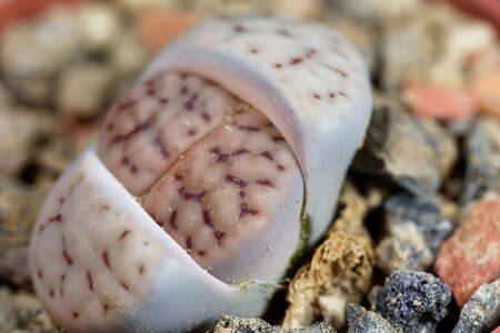 The living stone Lithops schwantesii, from Namibia, area C190