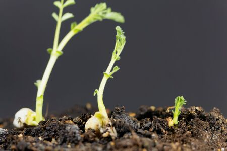 Seedling of a chickpea plant, Cicer arietinum, with a black background.