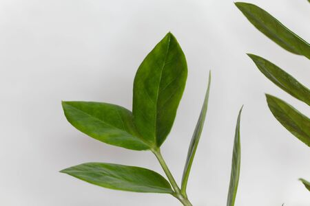 Detail of leaves from a cardboard palm, Zamia furfuracea
