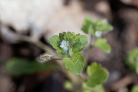 Flower of an ivy leaved speedwell, Veronica hederifolia, a native species from Eurasia.