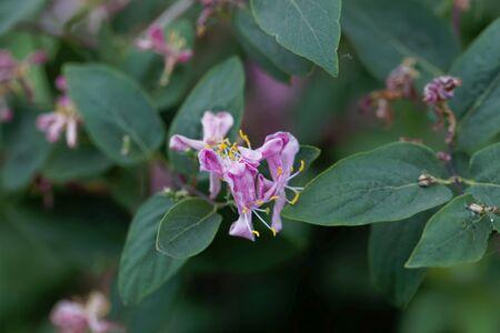 Flower of a Tatarian honeysuckle bush, Lonicera tatarica