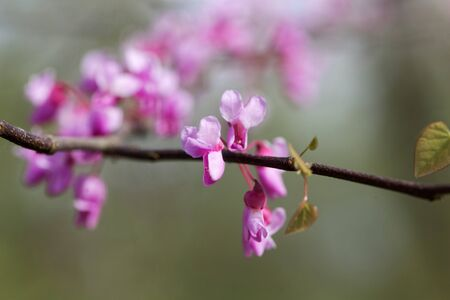 Flowers of an eastern redbud tree, Cercis canadensis.