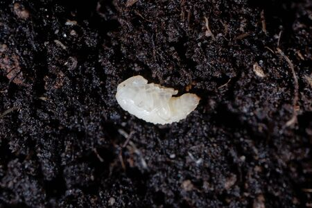 Pupa of a weevil bug, Otiorhynchus, on garden soil. Otiorhynchus bugs are an important pest in gardens and farmland.