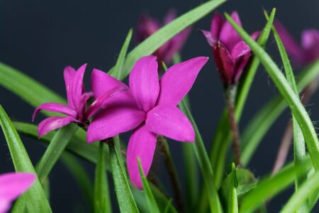 Flower of a Rhodohypoxis milloides, a small plant from South Africa. With a black background.