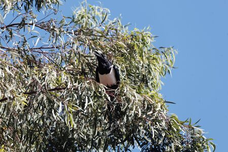 A pied crow, Corvus albus, in a tree in East Africa.