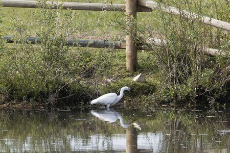 Lakeshore in southern Germany with a little egret, Egretta garzetta