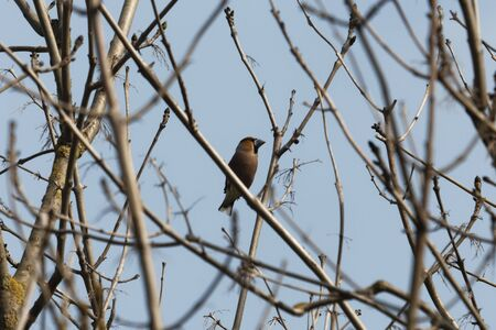 A hawfinch, Coccothraustes coccothraustes, in a tree.