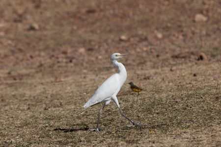 A cattle egret, Bubulcus ibis, on a field in East Africa.
