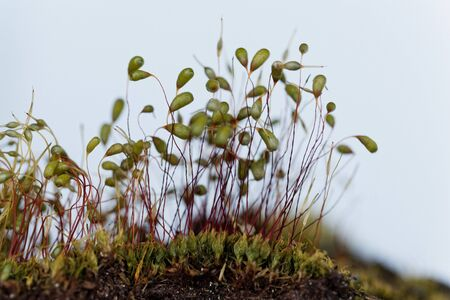 Macro photo of sporophytes of a Bryum moss, with white background.