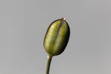 Macro photo of a seed capsule of a Tulipa kolpakowskiana