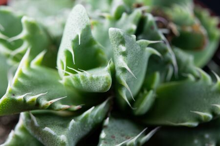 Leaves of the succulent plant Faucaria felina, from south Africa.