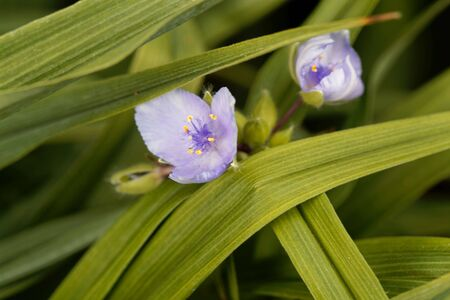 Flower Of A Virginia Spiderwort Tradescantia Virginiana Stock Photo Picture And Royalty Free Image Image 149786823,Top Furniture Stores