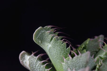 Leaves of a Faucaria tigrina, a succulent plant endemic in South Africa.