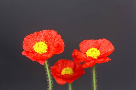 Red flower of an Iceland poppy, Papaver nudicaule, with a dark background 版權商用圖片