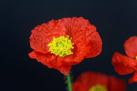 Red flower of an Iceland poppy, Papaver nudicaule, with a dark background