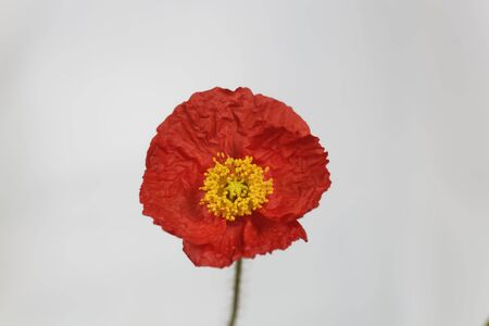 Red flower of an Iceland poppy, Papaver nudicaule, with a light background