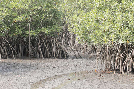 Roots of white mangrove shrubs, Laguncularia racemosa, in The Gambia, West Africa.
