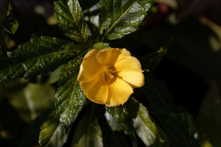 Flower of a damiana bush, Turnera diffusa, a medical plant from Central America.