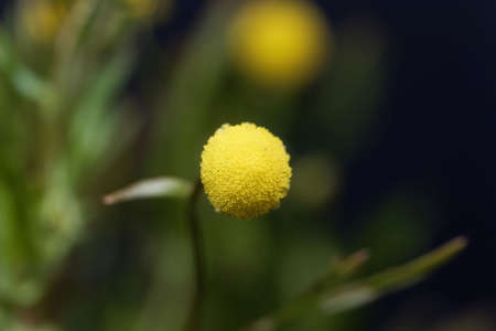 Macro photo of a brass button flower, Cotula coronopifolia, with a light background.