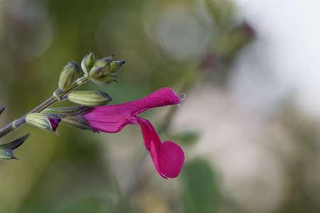Macro photo of a blackcurrant sage flower, Salvia microphylla.