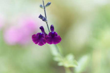 Flower of the sage Salvia x jamensis, a garden hybrid sage.