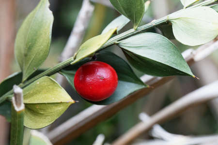 Berry of a butcher's-broom bush, Ruscus aculeatus Archivio Fotografico