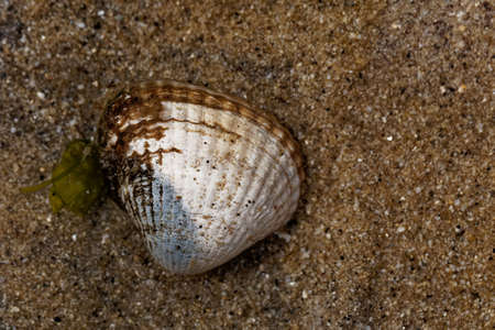 A living common cockle, Cerastoderma edule, in intertidal sands on a beach.