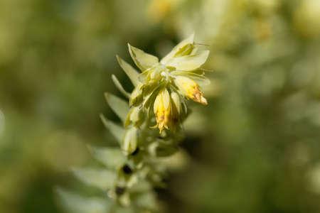 Flower of the honeywort plant Cerinthe minor. Archivio Fotografico