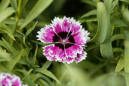 Flower of a rainbow or China pink, Dianthus chinensis.